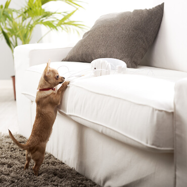 Chiahuahua reaching to get on a white couch