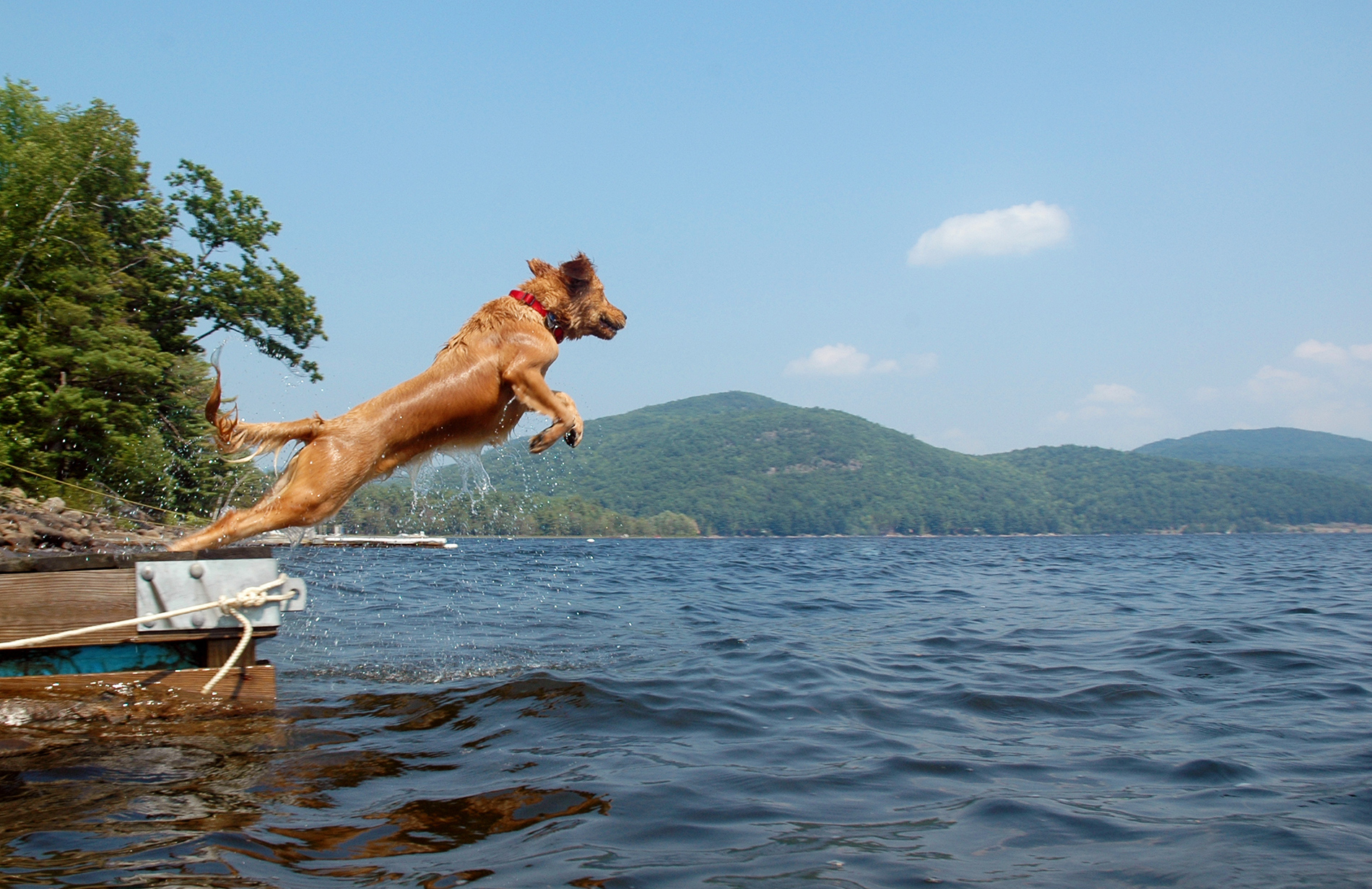 Dog jumping off the dock