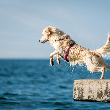 Dog jumping off dock into lake