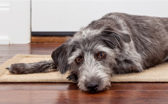 Dog laying on door mat
